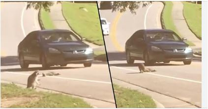 Heartbreaking Footage Shows Raccoon Mourning Over Dead Body Of Ran Over Friend