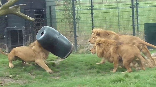 Lion gets stuck with its head in a feeding-barrel and is now an internet star!
