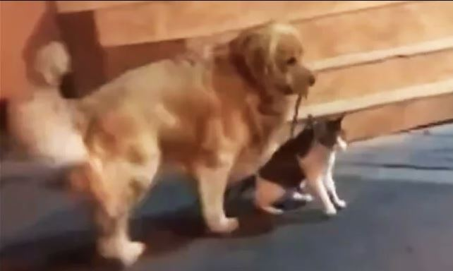 The internet loves this good dog for keeping his cat friend from getting into a brawl
