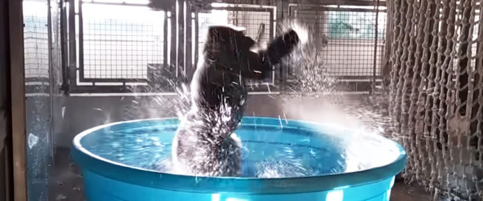 This funky gorilla gives a new meaning to the shower dance