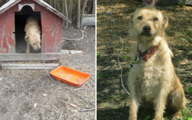 Chained Up Outside For 5 Years, The Only Word This Dog Knew Was 'No'
